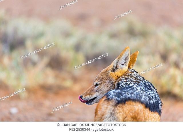Black-backed jackal (Canis mesomelas)Namib Naukluft National Park, Namibia, Africa