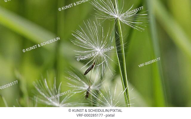 A couple of dandelion seeds (Taraxacum officinale) are clinging on grasses and then blown away by the wind. Noraström