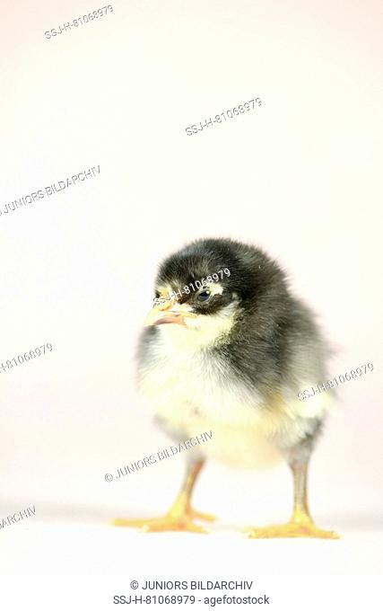 Domestic chicken, Vorwerk chicken x Leghorn chicken. Chick (1 day old) standing. Studio picture. Germany