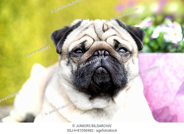 Pug. Portrait of male adult (2 years old) in a garden next to flowering Horned Pansies. Germany