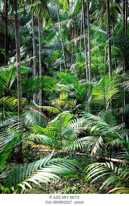 Euterpe oleracea (açai), Ilha do Combu, Amazon, Belem do Pará, Para, Brazil