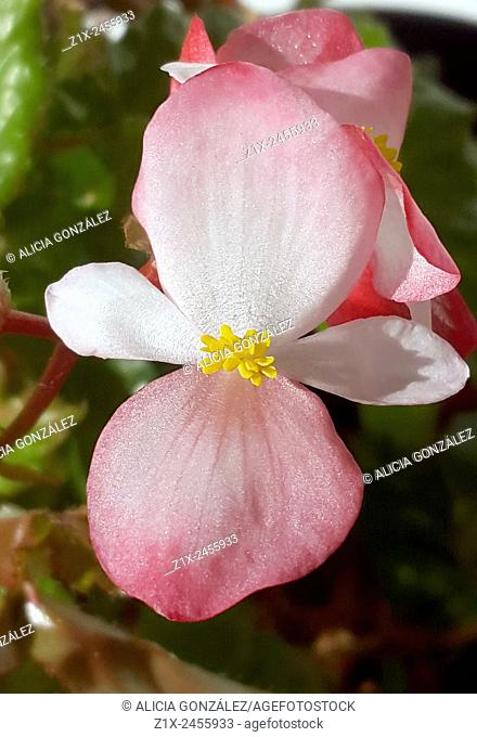 Begonia flower macrophotography