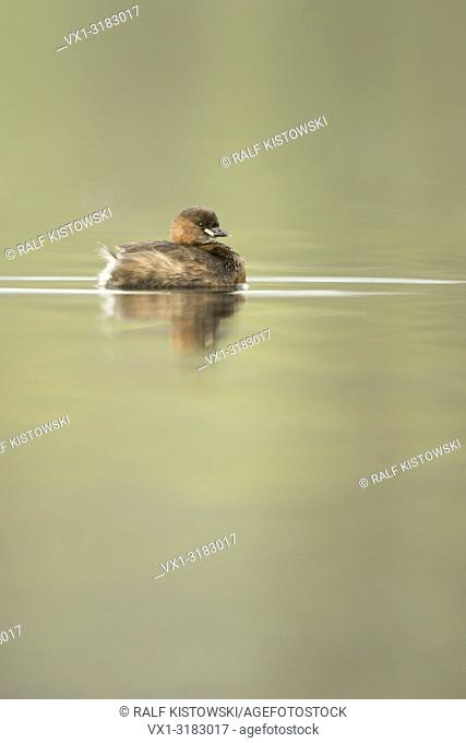 Relaxed Little Grebe ( Tachybaptus ruficollis ) swimming on calm, nice colored water.