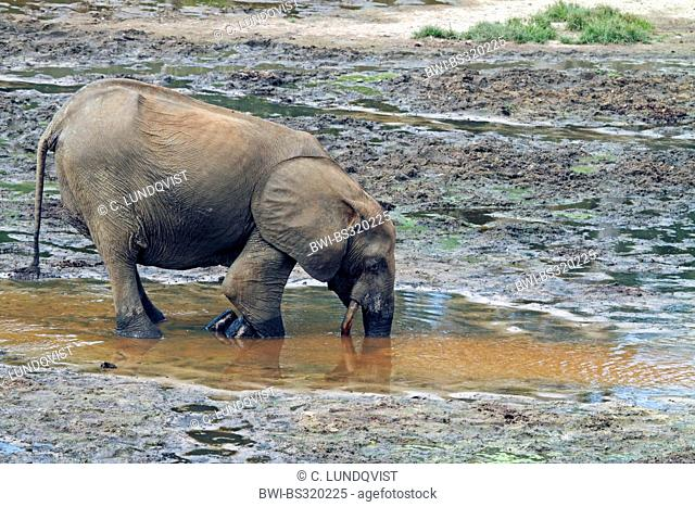 Forest elephant, African elephant (Loxodonta cyclotis, Loxodonta africana cyclotis), pumps up precious minerals, Central African Republic, Sangha-Mbaere