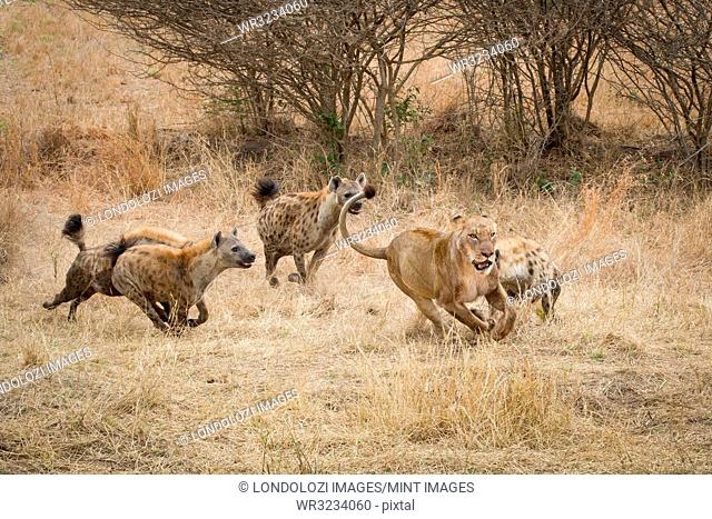 Four spotted hyenas, Crocuta crocuta, run and chase after a lion, Panthera leo, through dry yellow grass