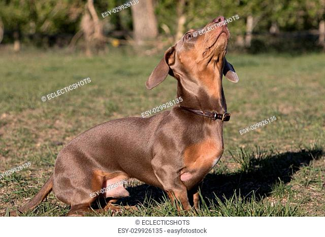 Six month old dachshund in a park