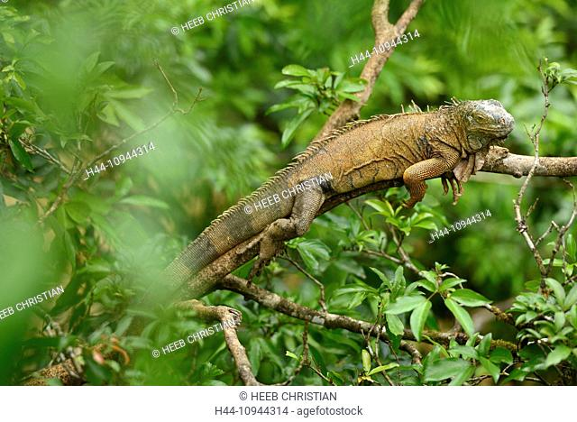 Central America, Costa Rica, Iguana, animal, tree, nature, Alajuela