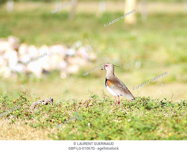 I want-want, Southern Lapwing, Vanellus chilensis, Pantanal, Mato Grosso do Sul, Brazil