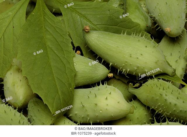 Caygua (Cyclanthera pedata), vegetable and medicinal plant