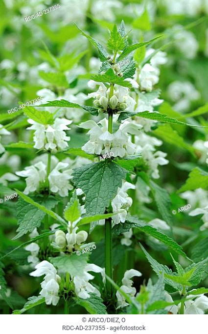 White Dead-nettle / Lamium album