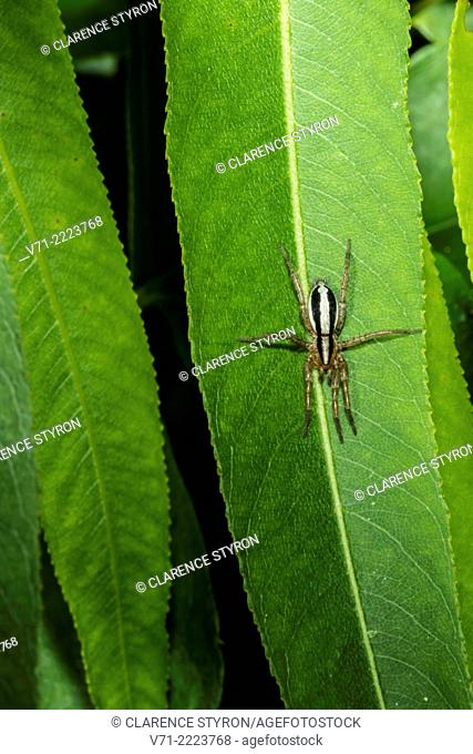 Wolf Spider (Hogna carolinensis) Hunting on Willow (Salix nigra) Leaf