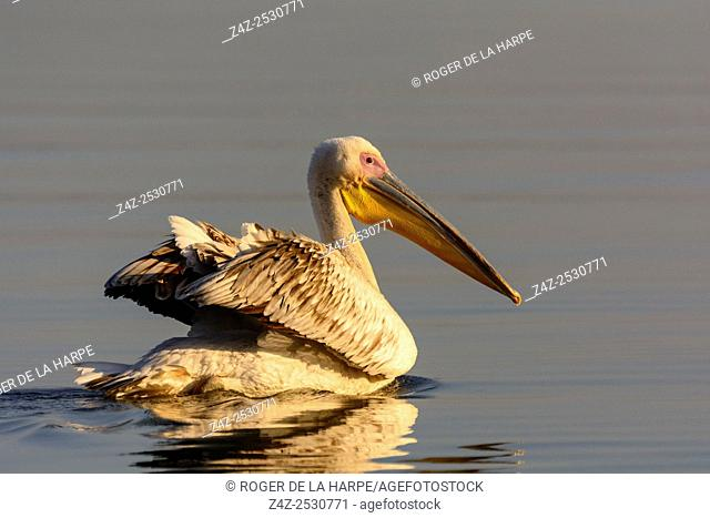 Great white pelican or eastern white pelican or rosy pelican or white pelican (Pelecanus onocrotalus). Lake Naivasha. Naivasha. Great Rift Valley