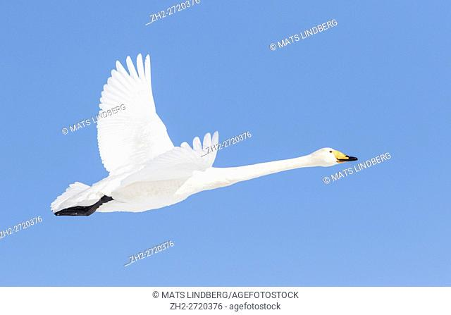 Whooper swan flying in clear blue sky, Gällivare Swedish Lapland, Sweden