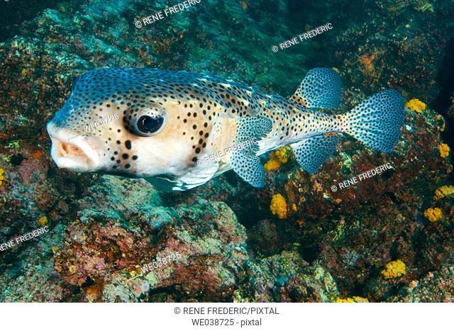 Pufferfish (Chilomycterus reticulates). Galapagos Islands National Park, Ecuador