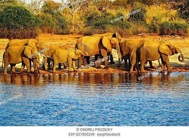 A herd of African elephants drinking at a waterhole