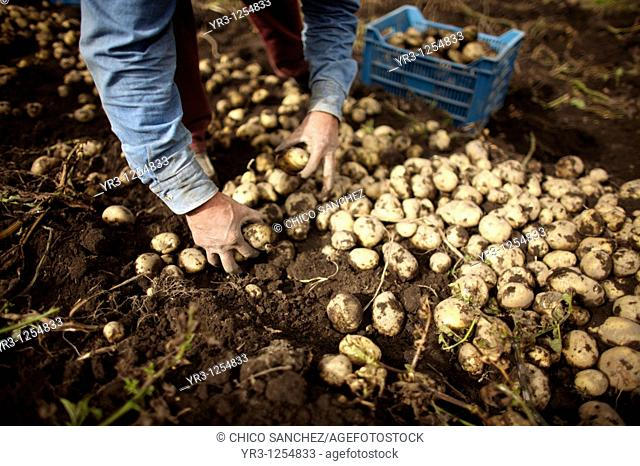 A man harvests potatoes on a farm in Meson Viejo, Mexico State, Mexico