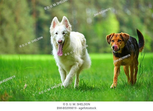 Berger Blanc Suisse (Canis lupus f. familiaris), Berger Blanc Suisse walking with a mixed breed dog in a meadow, Germany