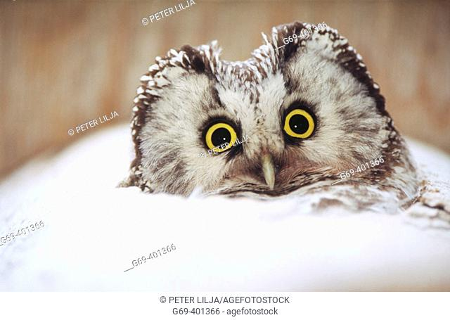 A Tengmalm's owl (Aegolius funereus) looks out from its nesting box. Byske, Vasterbotten. Sweden