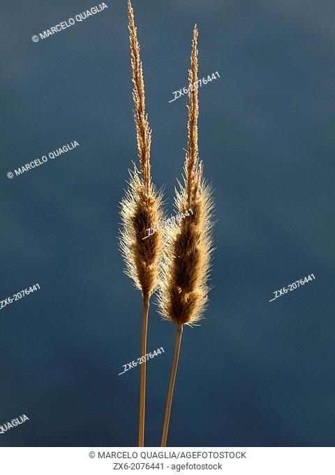 Spikes. Ebro River Delta Natural Park, Tarragona province, Catalonia, Spain