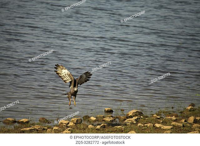 Grey headed fish eagle, Haliaeetus ichthyaetus, Tadoba National Park, Chandrapur, Maharashtra, India