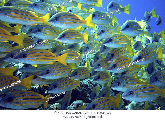 School of Bluestripe Snapper (Lutjanus kasmira), Indian Ocean, Maldives, South Asia