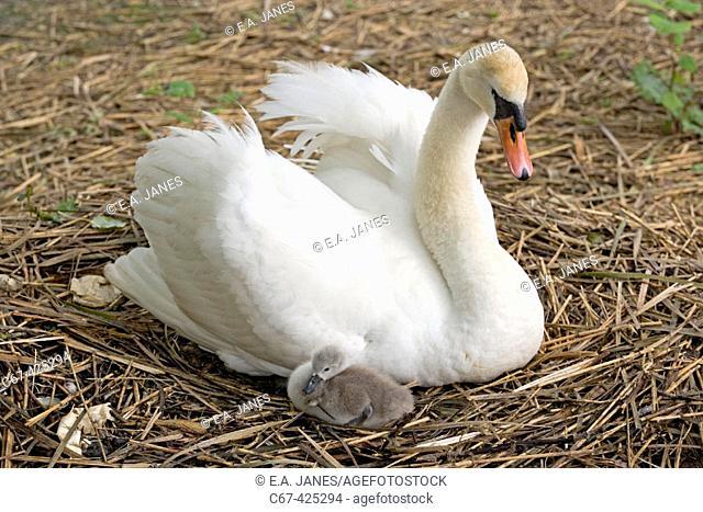 Mute swan, single cygnet