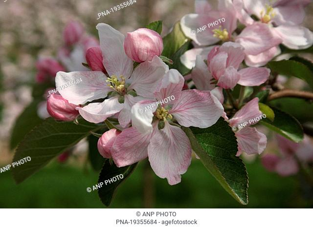 Apple Malus domesticus - Zaltbommel, Bommelerwaard, Gelderland, Guelders, The Netherlands, Holland, Europe