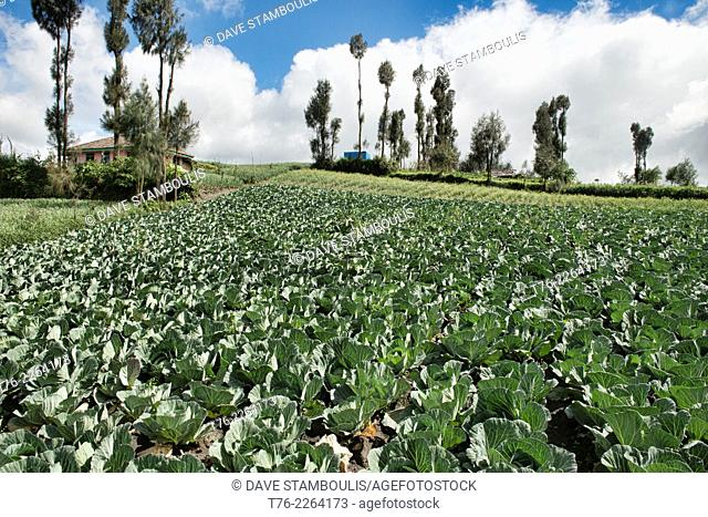 cabbage fields in Cemoro Lawang near Mount Bromo, East Java, Indonesia