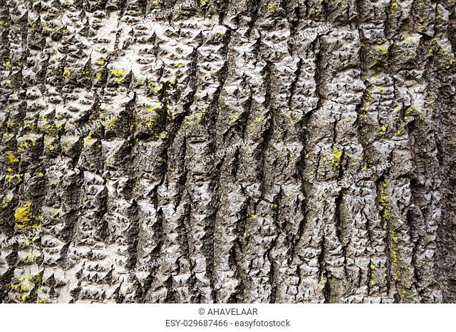 part of white poplar bark with yellow moss