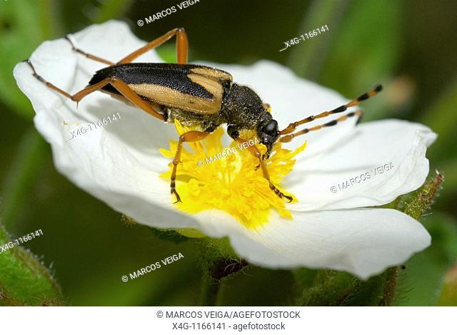 Longhorn beetle Paracorymbia stragulata on a Sageleaf Rockrose flower Cistus salvifolius