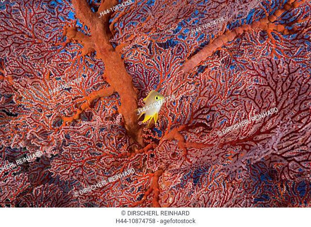 Goldener Riffbarsch vor Knotenfächer, Amblyglyphidodon aureus, Peleliu Wall, Mikronesien, Palau, Golden Damsel and Sea Fan, Amblyglyphidodon aureus