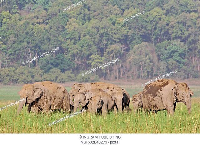 Asian elephant family grazing