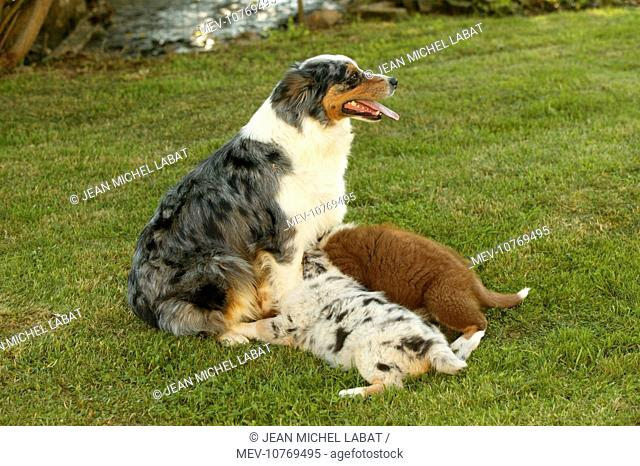 Australian Shepherd Dog - with two puppies suckling of different colours