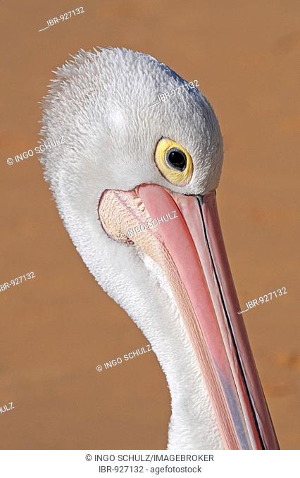 Australian Pelican (Pelecanus conspicillatus), portrait, Queensland, Australia