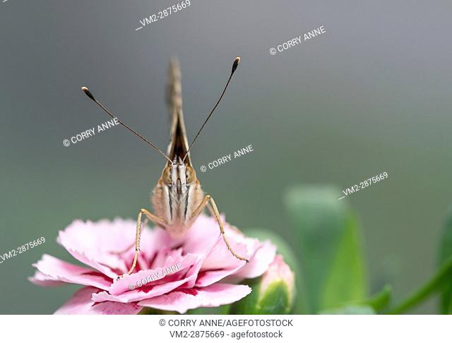Painted lady butterfly on a pink dianthus flower. Fraser Valley, British Columbia, Canada