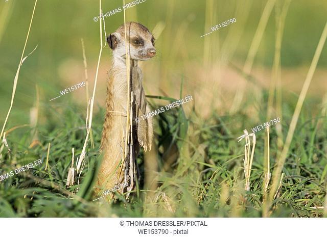 Suricate (Suricata suricatta). Also called Meerkat. Young on the lookout. During the rainy season in green surroundings. Kalahari Desert