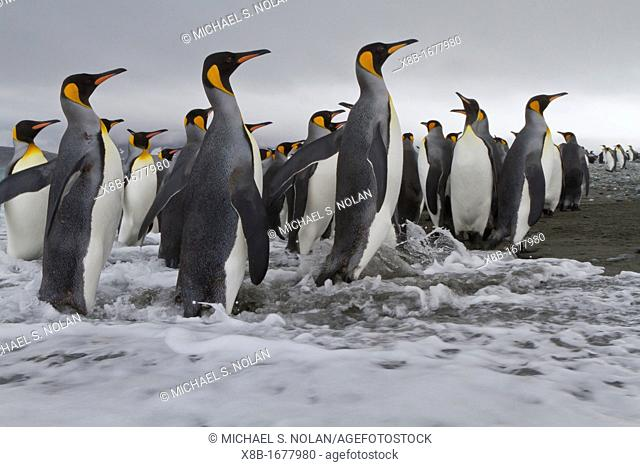 Adult king penguins Aptenodytes patagonicus returning from sea to the nesting and breeding colony at Salisbury Plain on South Georgia Island, Southern Ocean