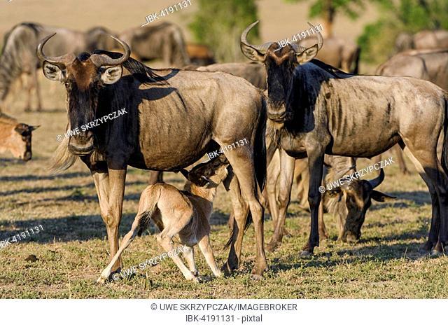 Wildebeests or gnus (Connochaetes taurinus), cow nurses calf, Maasai Mara National Reserve, Narok County, Kenya