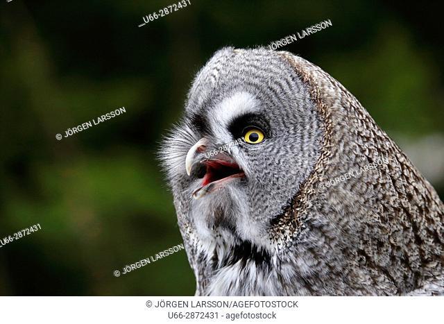 Great Grey Owl Strix nebulosa Stockholn Sweden