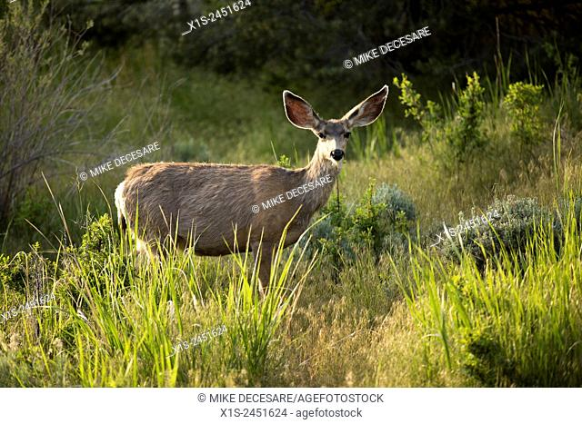 A deer foraging for food in the early morning hours in Nevada