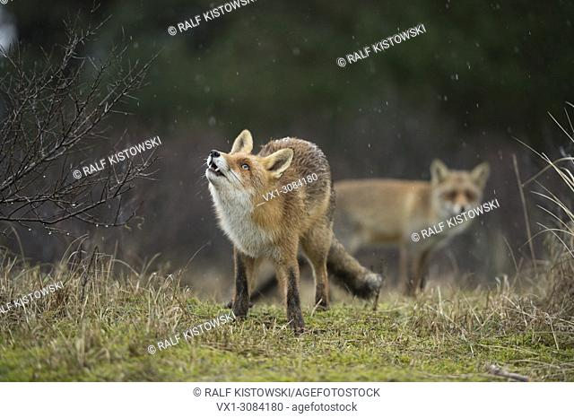 Red Foxes ( Vulpes vulpes ) two together in natural surrounding, on a rainy day, one is watching up to falling raindrops, funny, wildlife, Europe