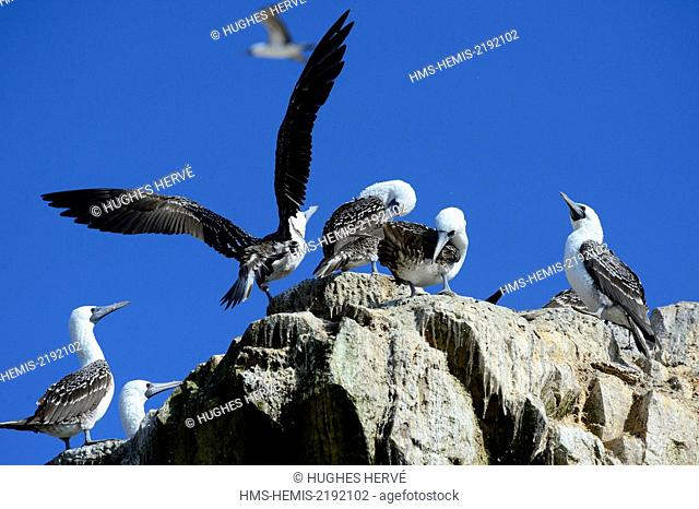 Peru, Pisco Province, Ballestas islands, boat trip across the Paracas National Reserve, Peruvian booby (Sula variegata)