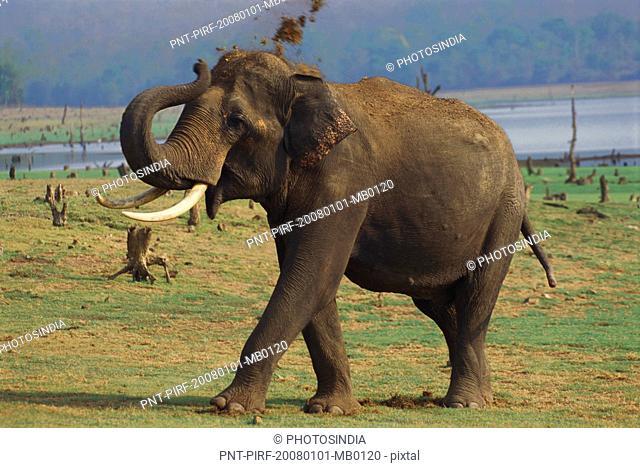 Indian elephant Elephas maximus indicus walking in a forest, Bandipur National Park, Chamarajanagar, Karnataka, India