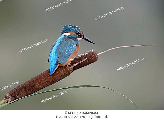 France, Doubs, natural space of Allan, Brognard, Kingfisher (Alcedo atthis), juvenile perched on a hill overlooking the water surface on the lookout for prey...