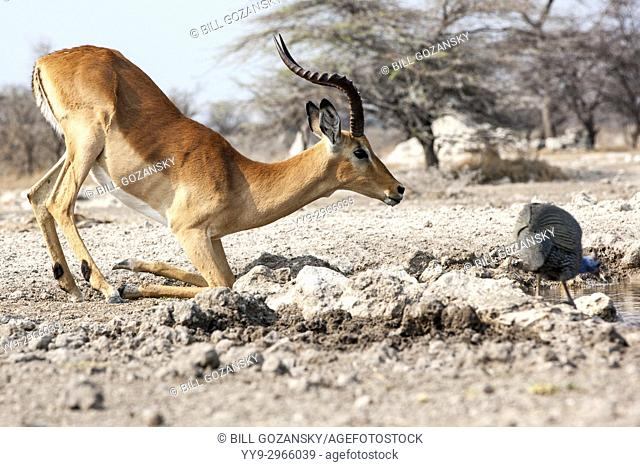 Impala kneeling to drink at Onkolo Hide, Onguma Game Reserve, Namibia, Africa