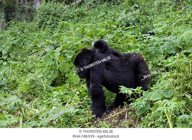 Mountain gorilla Gorilla gorilla beringei carrying her baby on her back, Rwanda Congo border, Africa