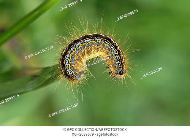Bright colored Mountain Lackey caterpillar (Malacosoma alpicola), a moth of the family Lasiocampidae also known as snout moths or lappet moths
