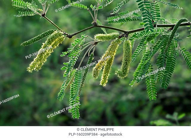 Velvet mesquite (Prosopis velutina) close up of leaves and flowering catkins, Sonoran desert, Arizona, USA