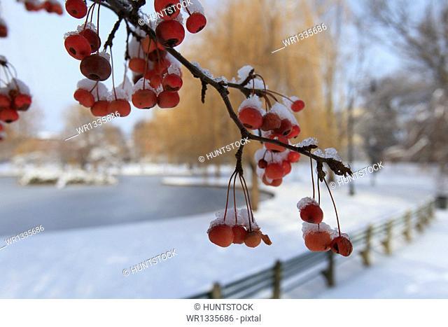 Cherries on a tree after a snow storm, Boston Public Garden, Boston, Suffolk County, Massachusetts, USA