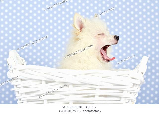 German Spitz Klein. Adult dog (she-dog, 3 years old) sitting in a white basket, yawning. Studio picture. Germany